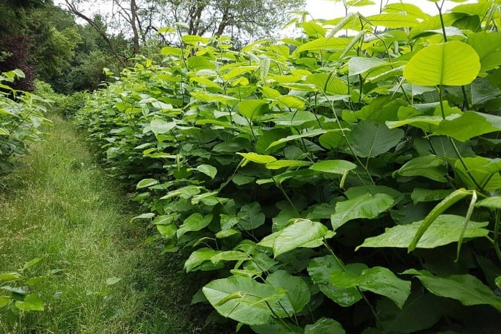 Japanese knotweed summer growth