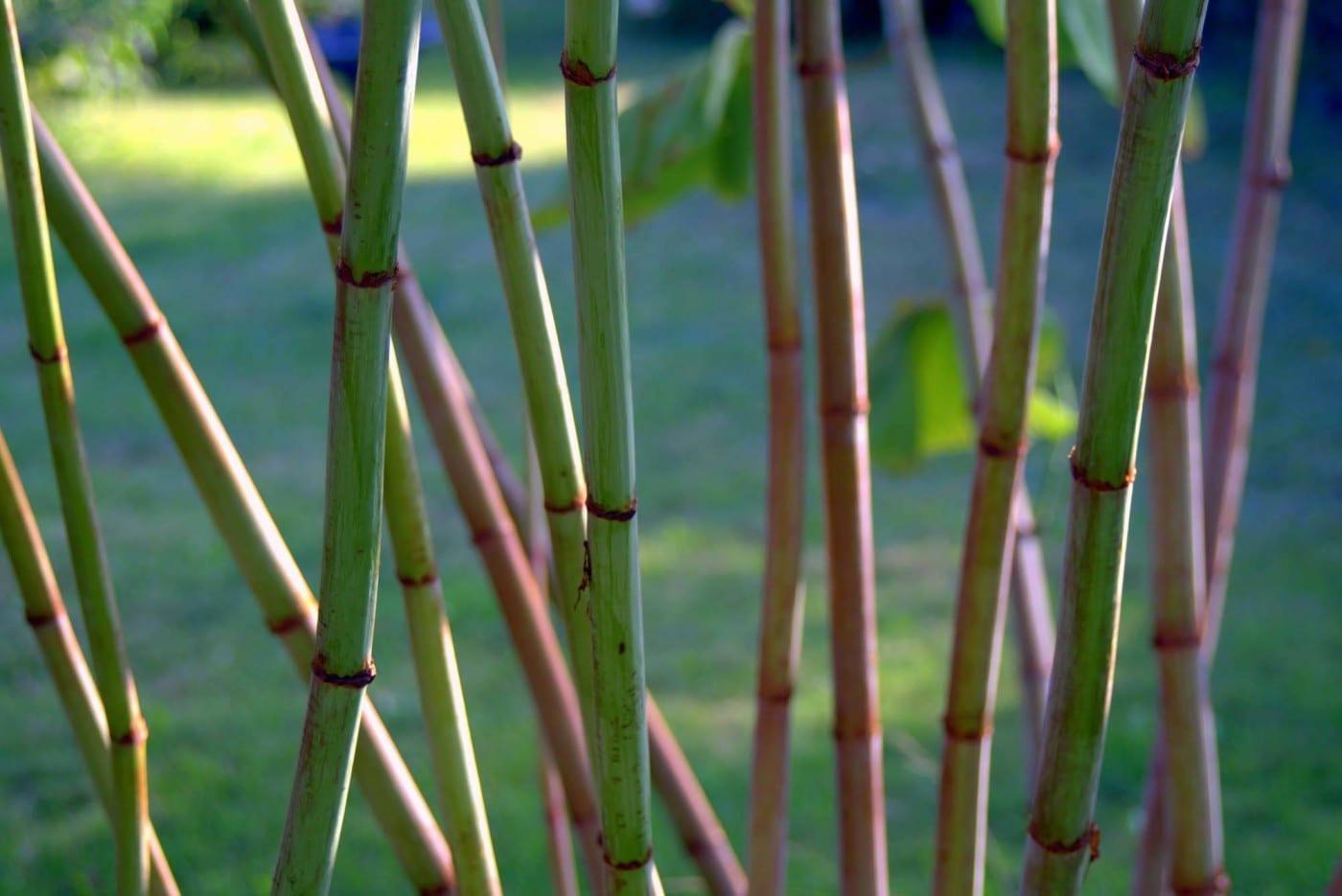 Japanese Knotweed - example of a knotweed claim