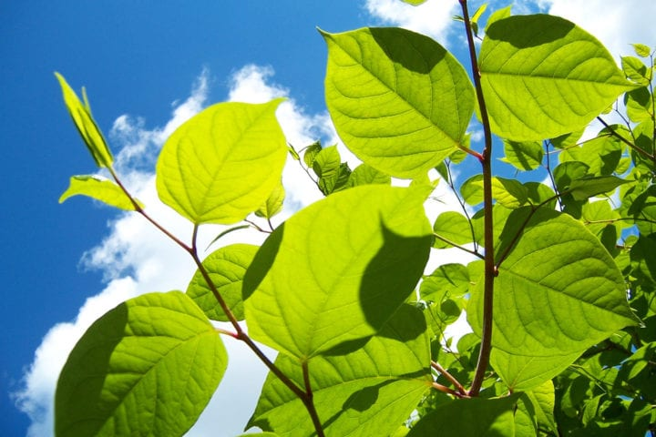 Japanese knotweed leaves in summer