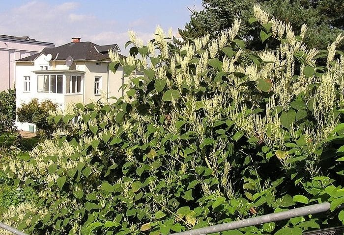 bought a house with japanese knotweed