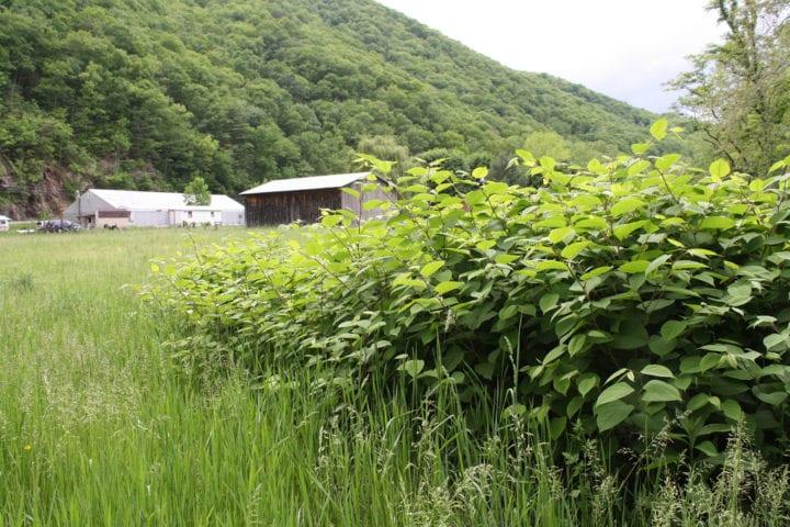 Japanese knotweed law