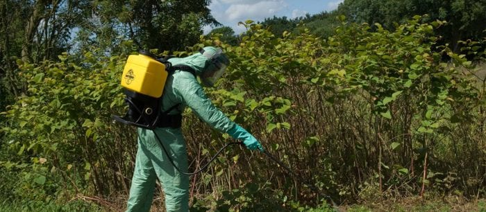 A professional spraying Japanese knotweed with glyphosate