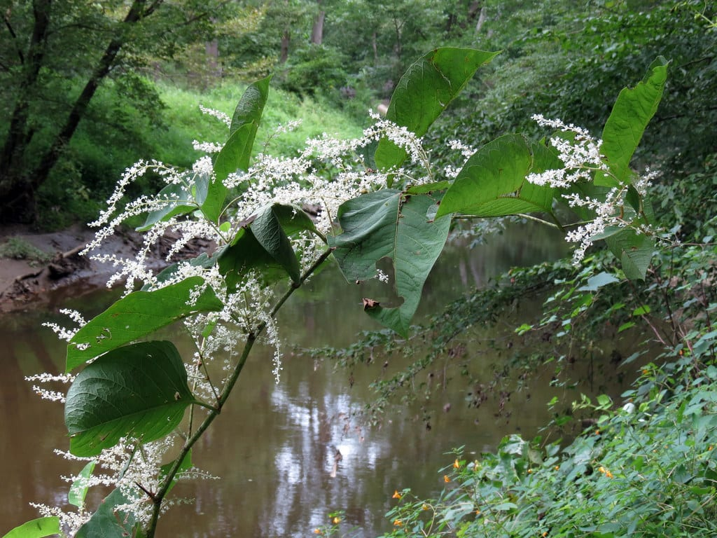 Giant Knotweed growing by watercourse