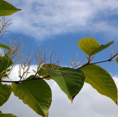 Tal large invasive Japanese knotweed in UK