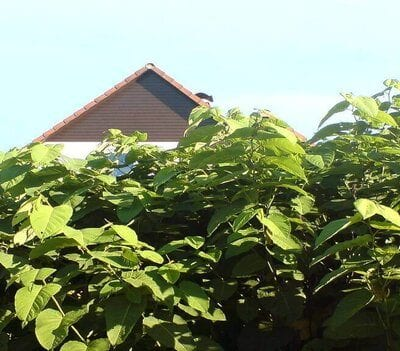 Tall green heart shaped Japanese Knotweed Leaves in the UK