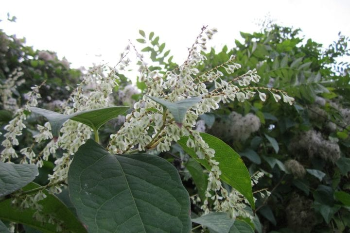 Japanese knotweed in flowe