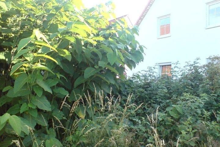 Japanese knotweed in garden