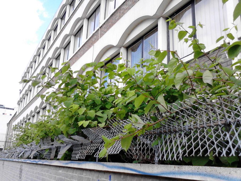 Japanese knotweed growing outside flats
