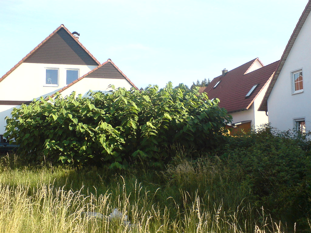 Japanese knotweed growing in land near properties