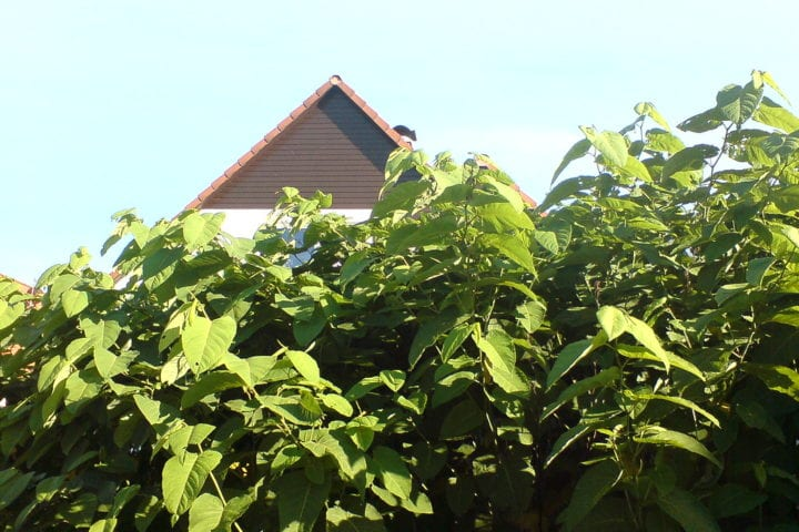 Japanese knotweed growing near homes