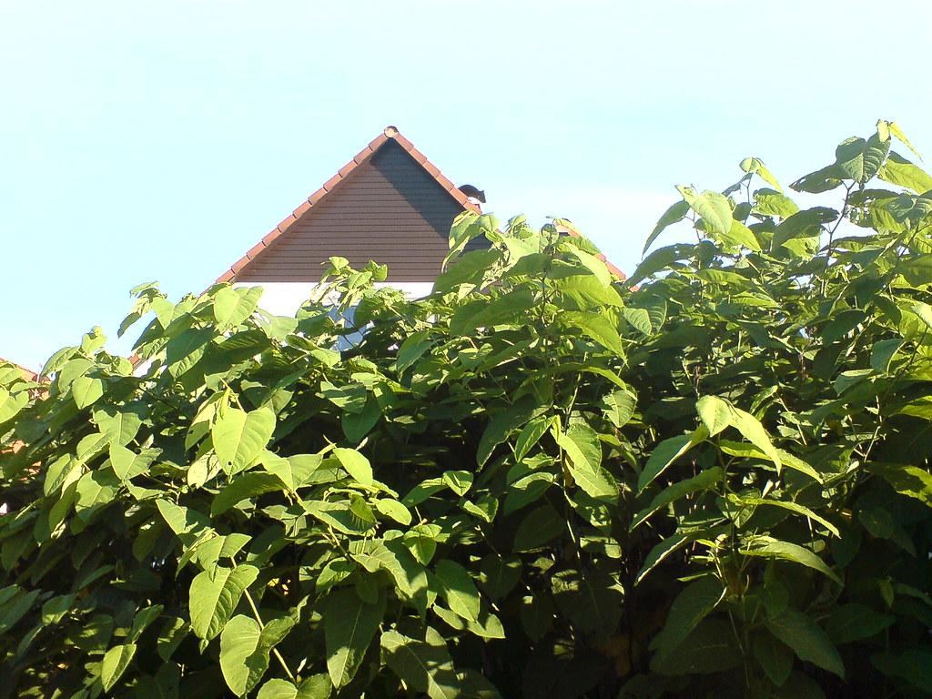 Japanese knotweed growing near homes