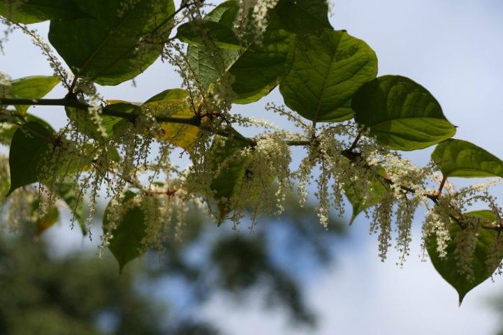 Overhanging Japanese knotweed flowers