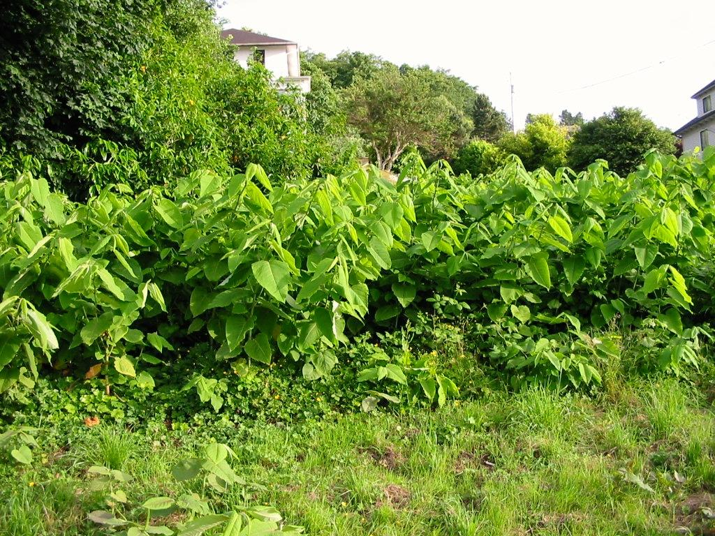 Japanese knotweed growing close to homes