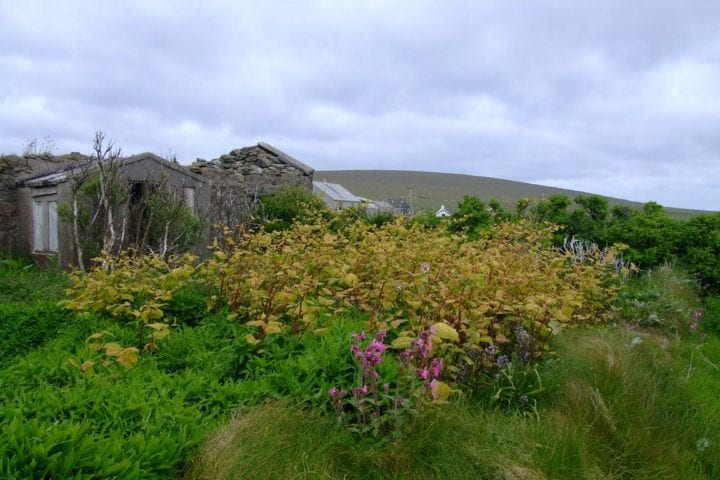 Japanese knotweed grows on the boundaries of this property