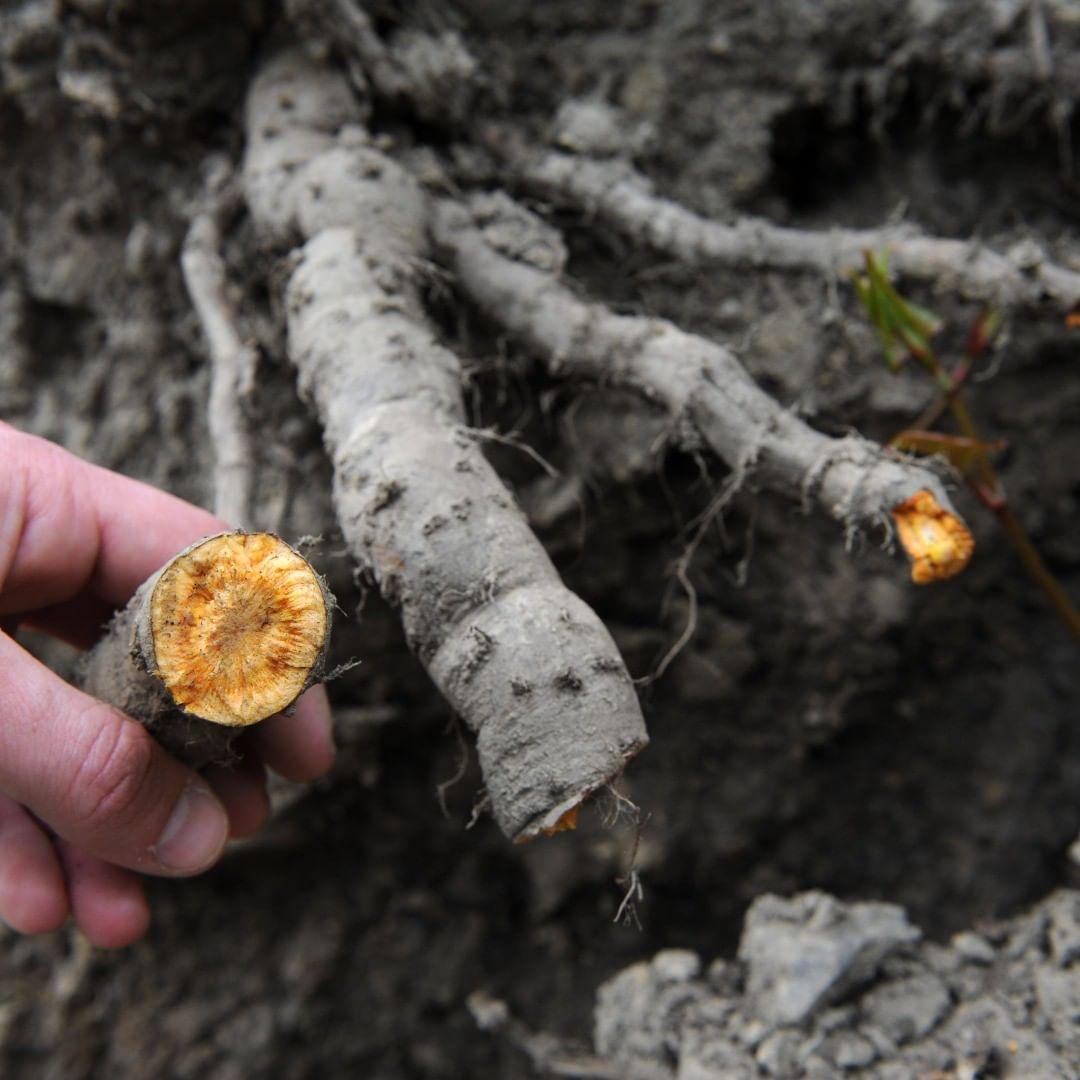 Japanese knotweed rhizome roots