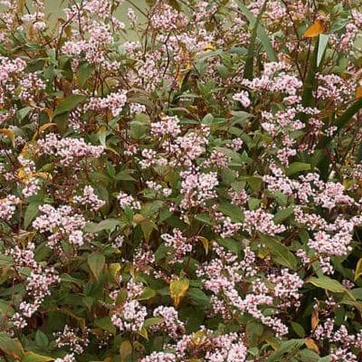 Lesser Knotweed plant