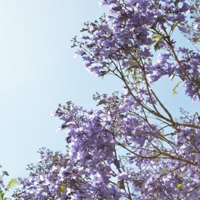 Lilac that looks like Japanese knotweed